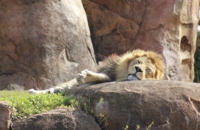 Tout ce que vous devez savoir sur le Roi Lion 2